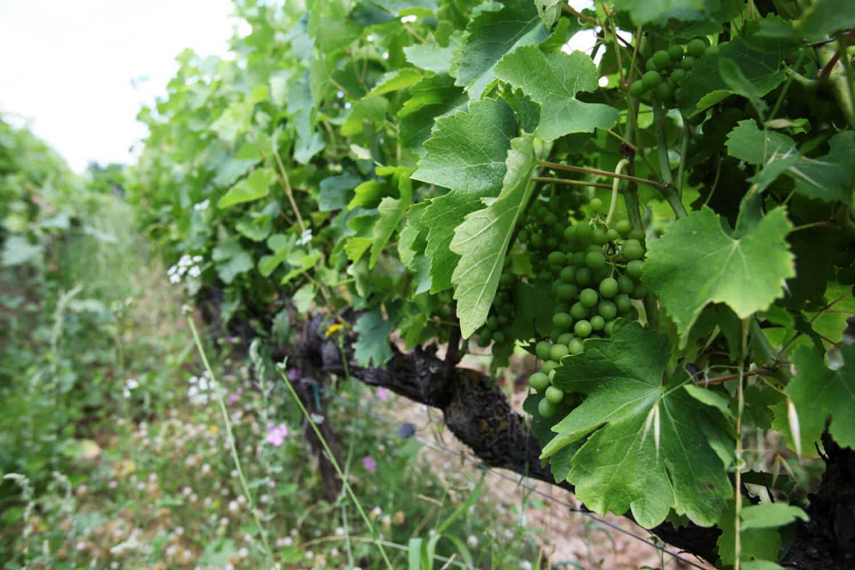 dotevini dote vini naturali syrah viognier biodinamica