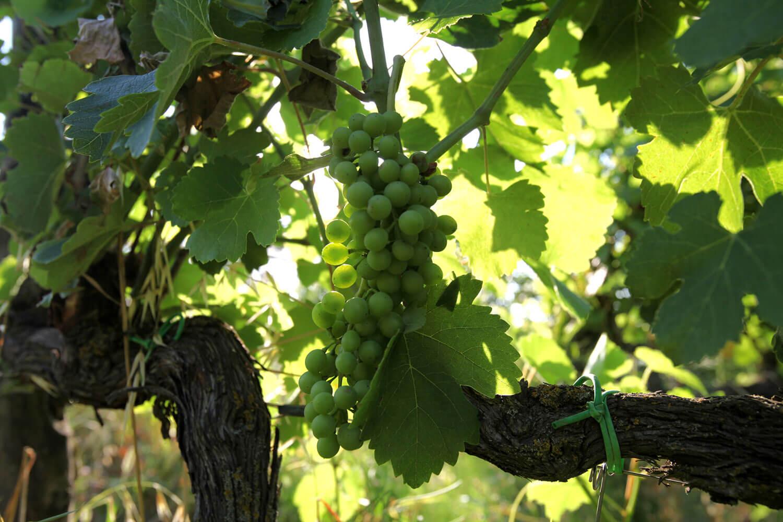 dotevini dote vini naturali syrah viognier grappolo